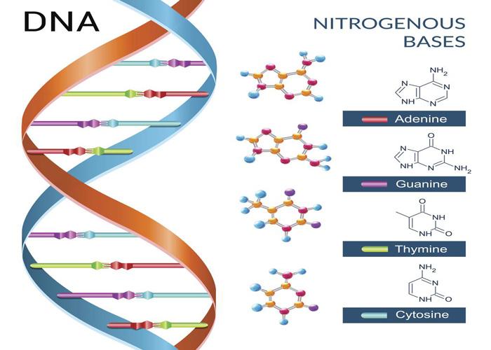 دیانای انسان / DNA